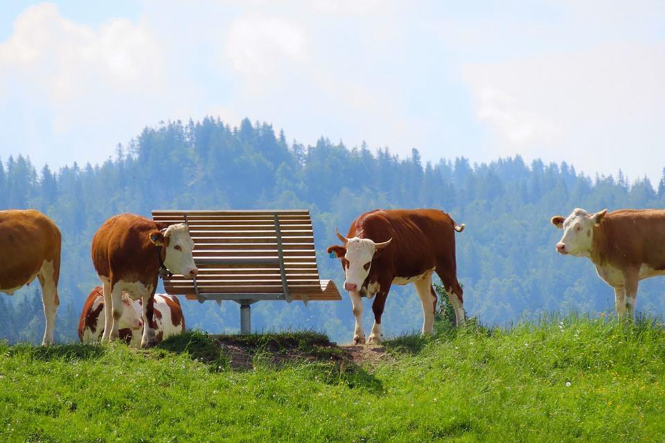 vaches folles avant la maladie
